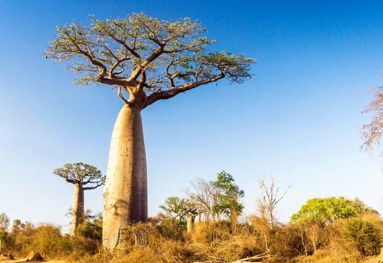 thumb_aduna_baobab_tree